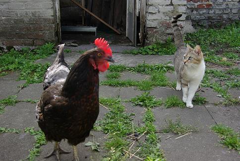 Poule qui perd ses plumes pour le bien for Bien nourrir ses poules