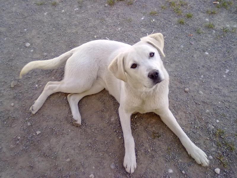 GUAPA femelle labrador beige 7 mois association GALIA (85)