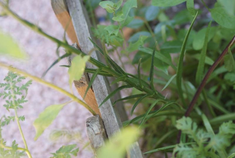 Campanule bleu a feuilles de pecher fiche technique et - Campanule a feuilles de pecher ...