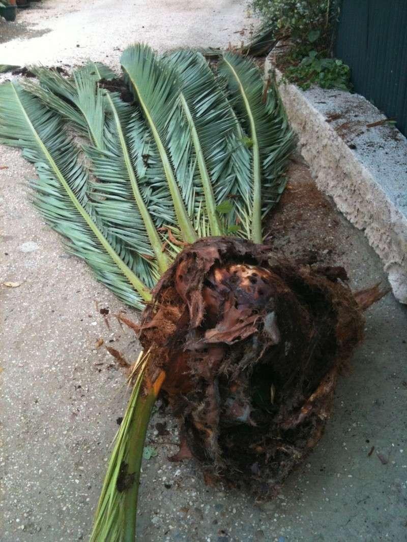 Palmier phoenix canariensis - Quand tailler un palmier ...