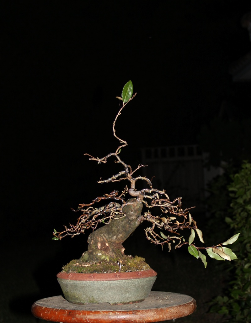 A year in the life of an elaeagnus silverberry for How to make an olive tree into a bonsai