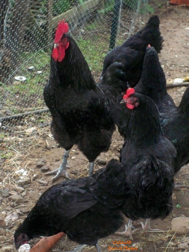 La poule cotentine - Conservation des oeufs de poule ...