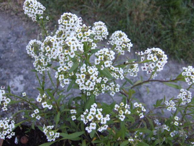 Petites fleurs blanches alysum for Fleurs blanches vivaces