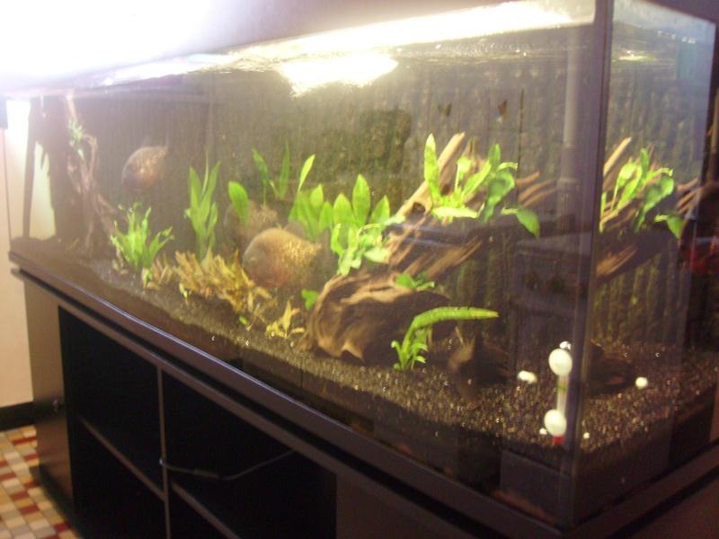 Pygocentrus natterreri piranhas bac 600l biotope amazonien for Aquarium 600l