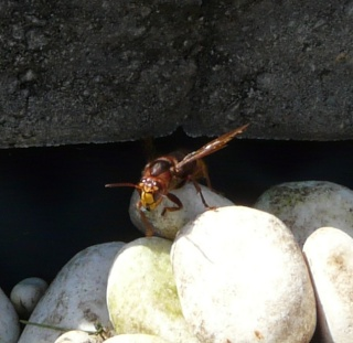 Le Vespa crabo. dans POESIES, TEXTES p1140210
